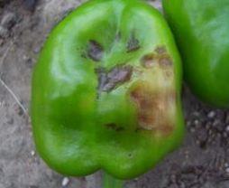 ピーマンの栽培で病気に気を付けよう!実や葉・茎にできる青枯病や斑点病の対策とは