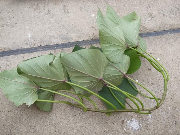 さつまいもの茎は食べられる!レシピや食べ方にはどんなものがある?