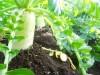 大根の栽培方法!植え方はどうする?追肥の時期や選ぶべき肥料